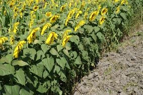 Landscape of sunflower field