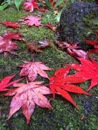 fallen red maple leaves