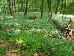 wild garlic blooming in spring forest