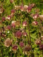 purple avens in a meadow