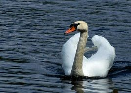 young swan with grey neck and white wings on water