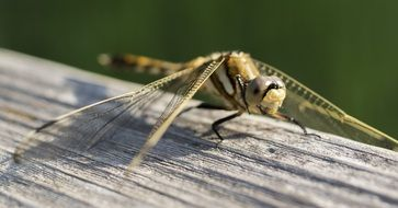yellow dragonfly insect macro