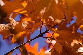 orange autumn leaves branching