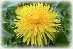 yellow dandelion closeup