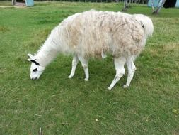 white llama grazing on lawn