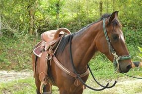 horse in bridle and saddle outdoor