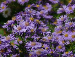blue aster is ornamental plants