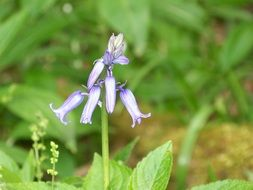 wonderful blue bell flower