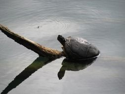 turtle on a branch in the water