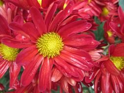 chrysanthemum red flower