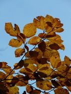 view of the autumn sky through the beech leaves