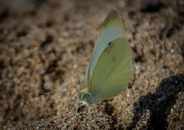 brimstone butterfly on sand closeup