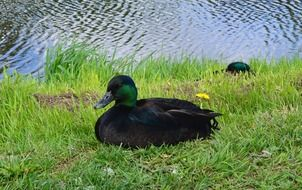 black ducks on green grass on the shore