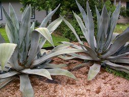 green agave cactus in the wild