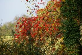 tree branches with red berries
