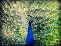 peacock with open tail feathers close up