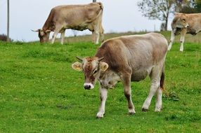 farm cows in allgau