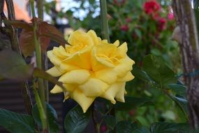 rose yellow flower in green garden