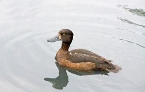 brown duck in the pond