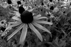black and white photo of echinacea flowers
