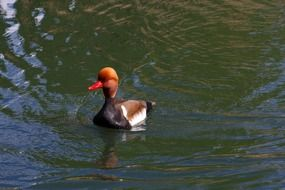 red headed duck in the pond