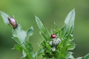 ladybug thistle green grass nature