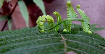 young shoots of fern leaves