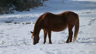 brown horse grazing at snowy winter