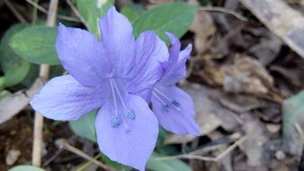 blue flower among dry foliage closeup