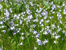bright blue spring flowers on a green meadow