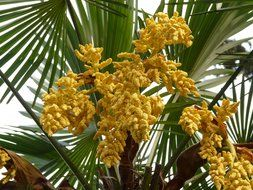 bottom view on the yellow flowers palm tree