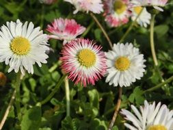 pink and white daisy flowers, top view