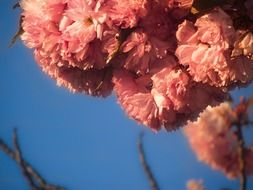 fluffy pink flowers in spring