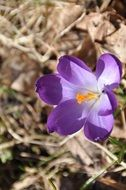 purple crocus among dry grass