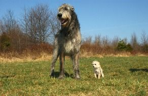 irish wolfhound and chihuahua poodle cute portrait