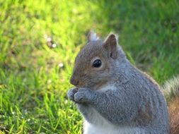 squirrel eating closer view