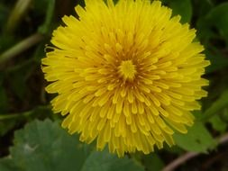 yellow dandelion pointed flower