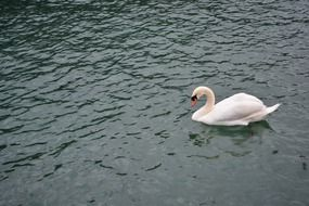 swan swims in a lake