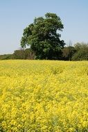 oilseed rape countryside