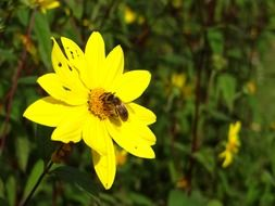 bee in the yellow flower