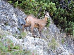 chamois mountain goat
