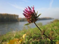 Red clover meadow on a background of the river