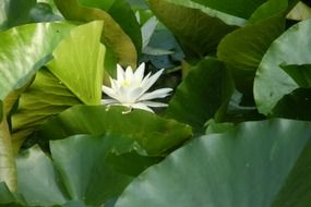 white water lily flower among green leaves on a pond