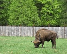 bison grazing on fenced pasture at forest