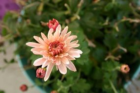 pale lonely chrysanthemum closeup