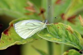 cabbage white butterfly on green leaf