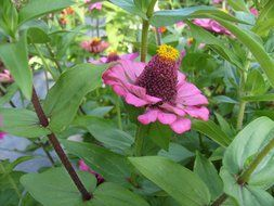 pink zinnia flowers with yellow center