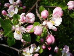 white and pink flowers on an apple tree in summer