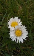 two white daisies in green grass