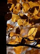 autumn leaves beech closeup
